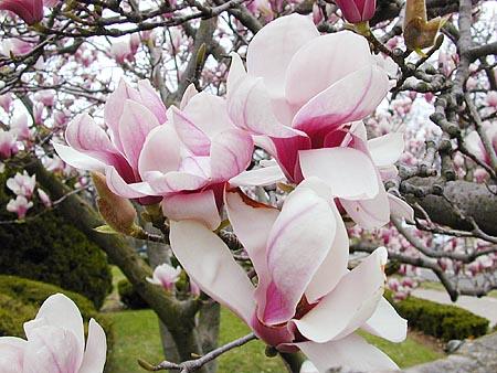 El jardin y el cuidado de las plantas - Cuidados del magnolio ...